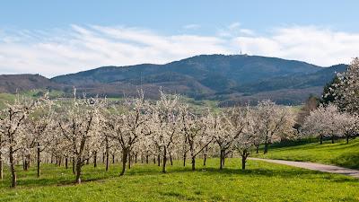 Kirschbäume im Eggenertal am Fuß des Hochblauens