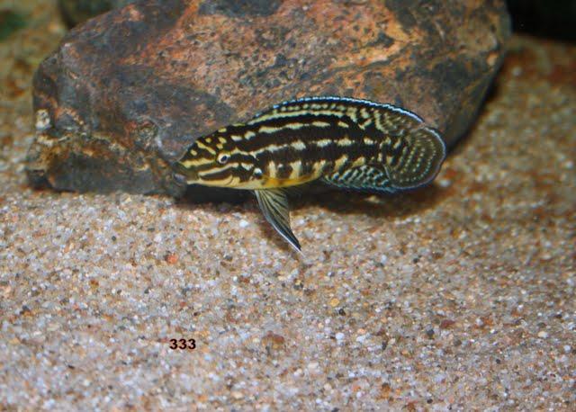 Julidochromis marlieri  IMG_9502