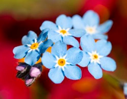 Forget Me Not Plant