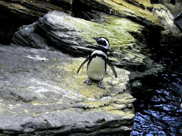 Магеллановы пингвины в Океанариуме Лиссабона