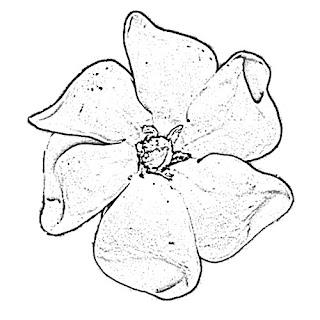 Gardenia Sketch