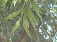 https://lh6.googleusercontent.com/-YxpGelcdBpY/T4fWrJUedaI/AAAAAAAAAXk/MDzL3hbF5Kk/s1600/ZZ+Unknown+084+Tree+-+Leaf.jpg