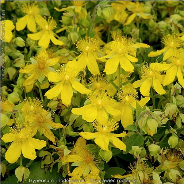 Hypericum rhodopaeum - Dziurawiec rodopski