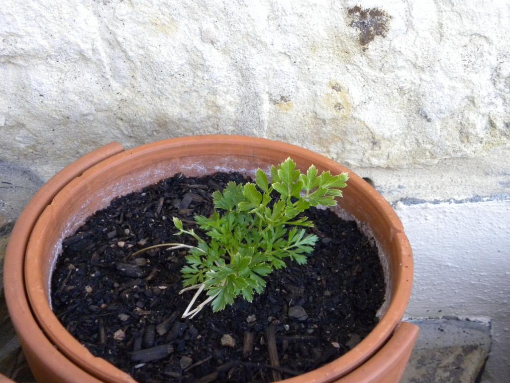 Diane's Texas Garden: Kitchen Garden Herbs