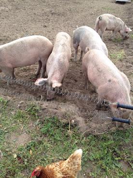 Inte alla är svin men en del grisar sig...