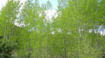 A plethora of Aspen trees