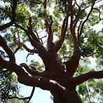 Large old tree on the Wallarah Pennisula Walk (388949)