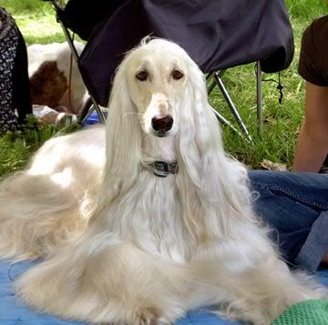 Dogs Info: Brown Afgha...