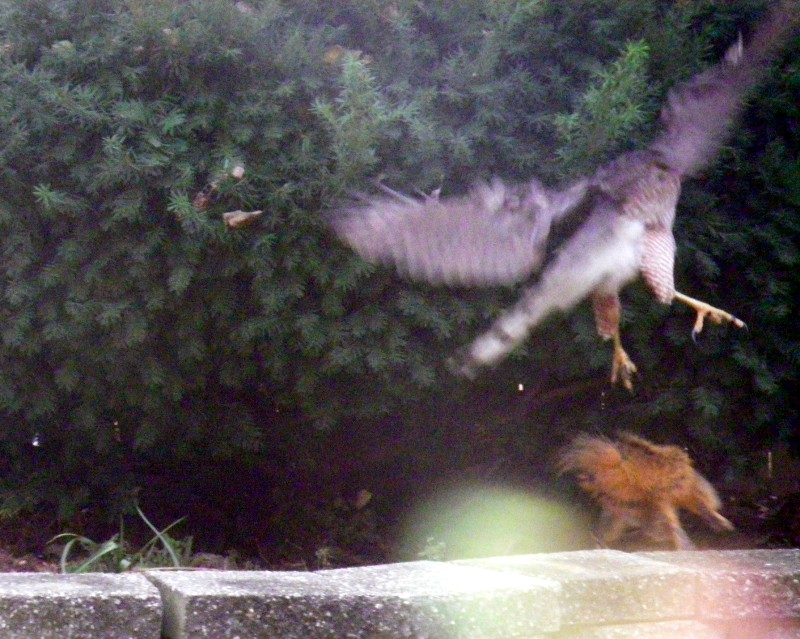 Squirrel charged the hawk