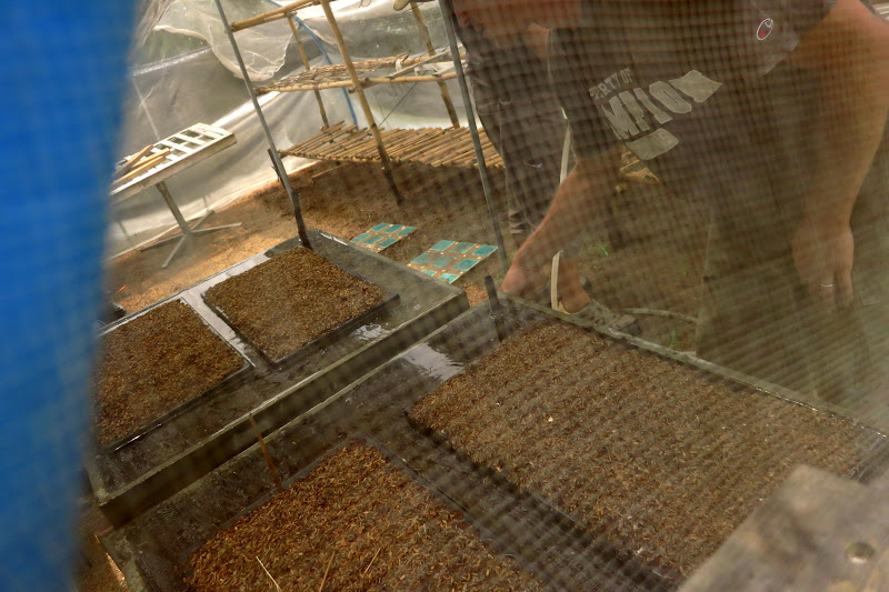 Soaking the seedlings