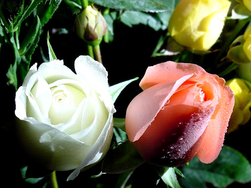 White_and_Pink_Rose.jpg