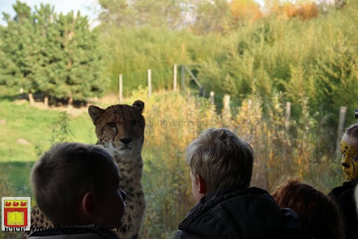 cheetahs vieren hun eerste verjaardag Zoo Parc Overloon (32) 11-11-2012.JPG