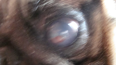 Geetasharmavet Corneal Ulcer With Descemetocele Pug