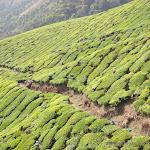 """Photo de la galerie """"Munnar, son thé et ses champs d"""