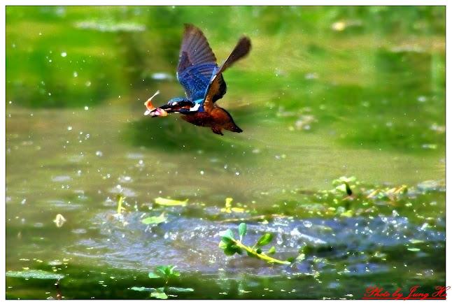 鳥松濕地習打翠鳥第二炮