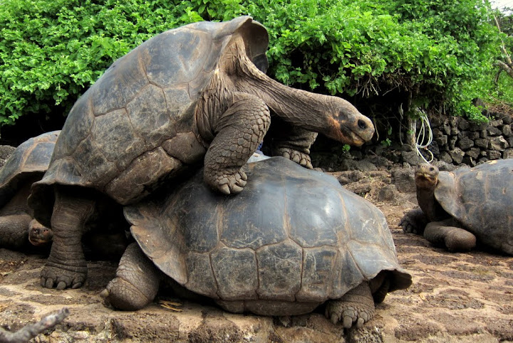 Humping male land tortoises, Galapagos