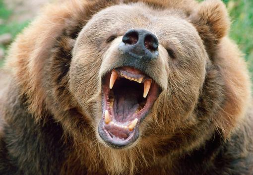 urso pardo vs urso polar