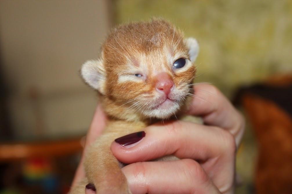 #абиссинский котенок, #питомник абиссинских кошек Shafran