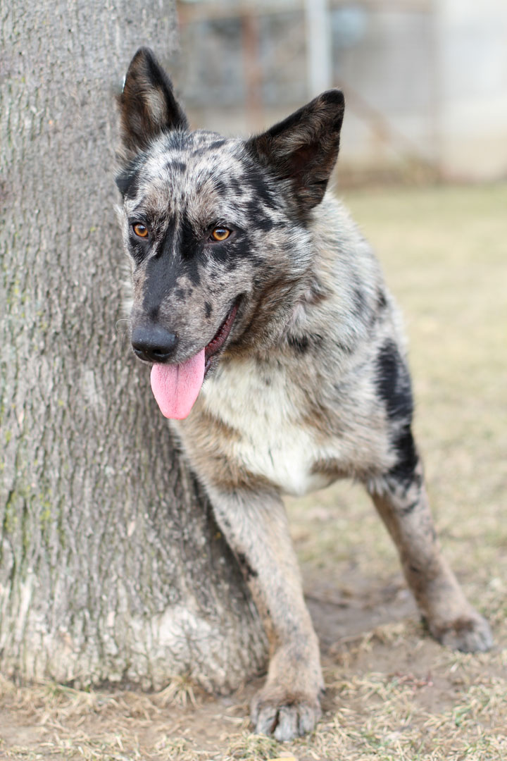 Australian Shepherd Dog Mix