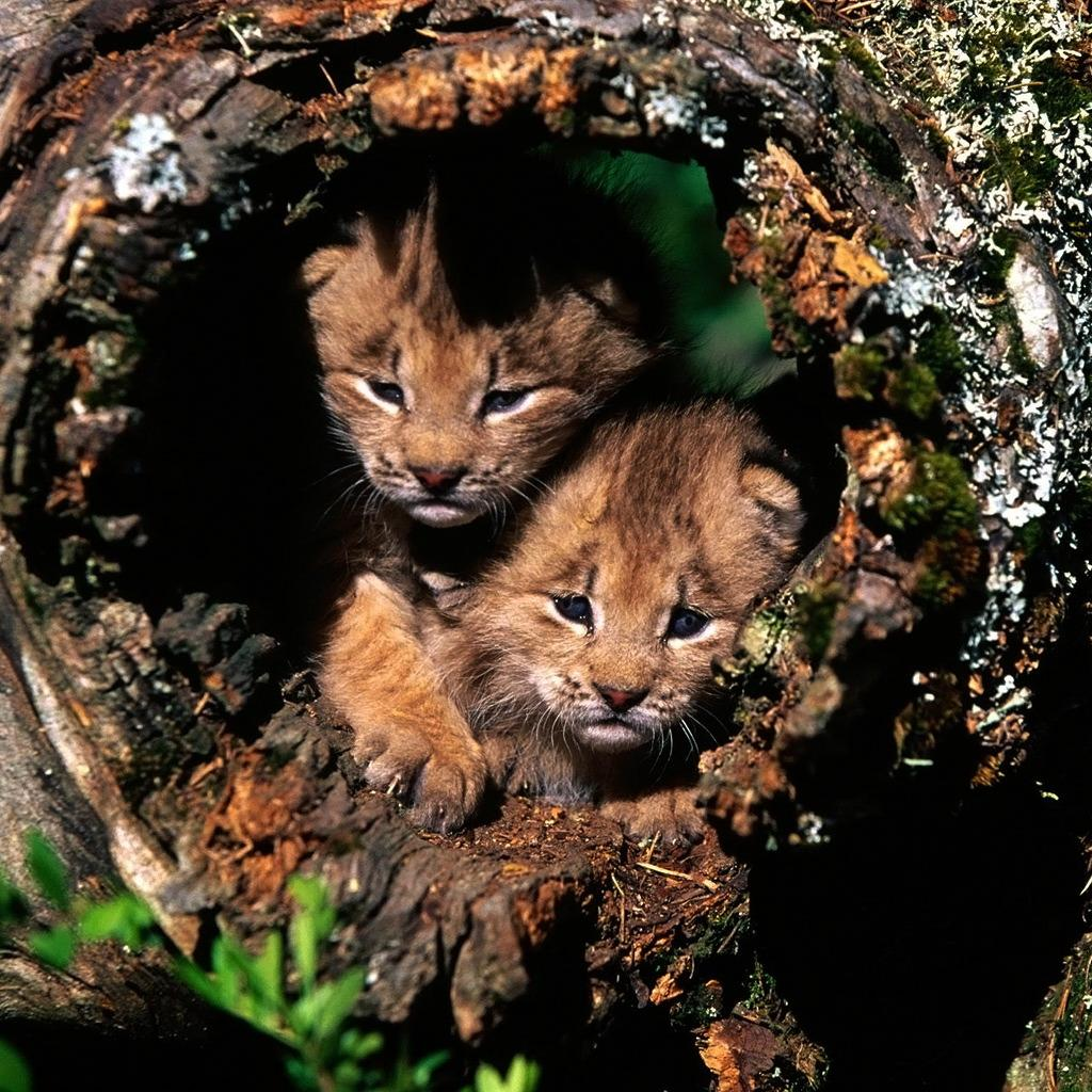 Ipad backgrounds lynx cat ipad wallpaper - Kitten wallpaper for ipad ...