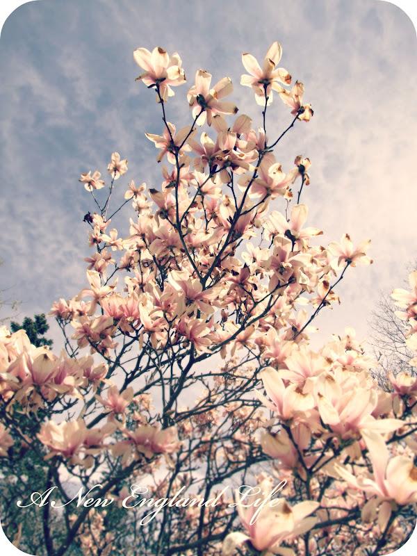 A New England Life Magnolia Skies
