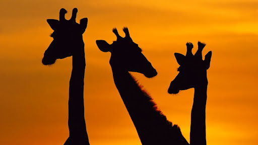 Giraffe Trio at Dawn, Chobe National Park, Botswana.jpg