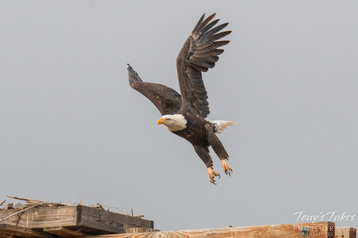 Bald Eagle takes flight sequence. 3 of 7.