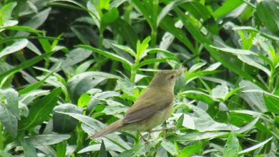 07-Jan-2015 Blyth's Reed Warbler (Pic: Joiston Pereira)