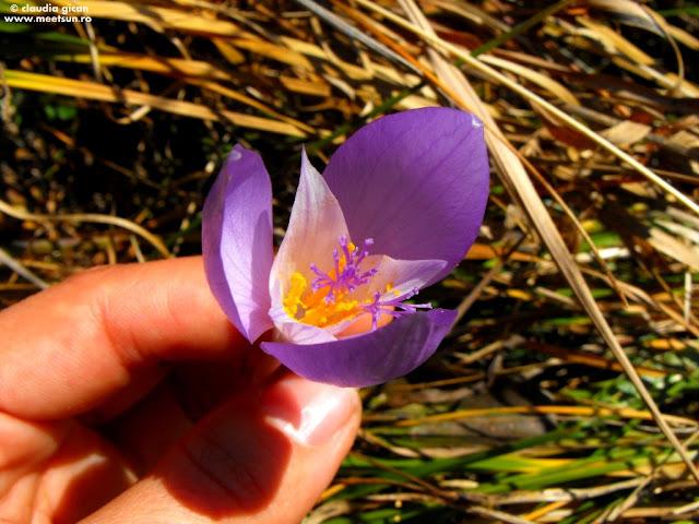 Flori din Ciucas: Brandusa de toamna