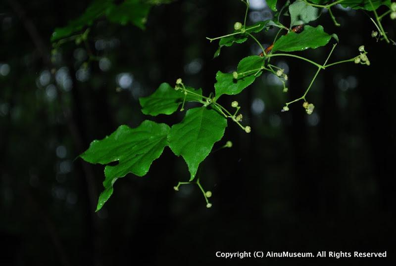 ツリバナの葉