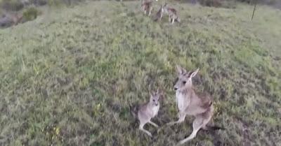 Canguru ataca e destrói drone que voava por perto