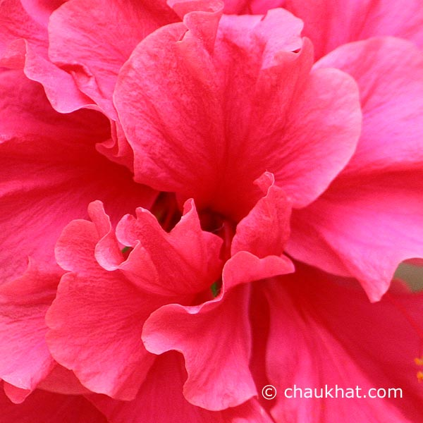 Close-up of Hibiscus Mutabilis [AKA Confederate Rose, Cotton Rosemallow, Changeable Rosemallow]