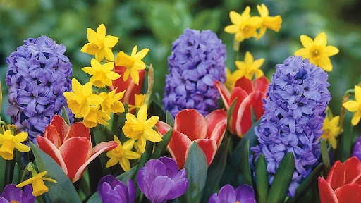 Narcissus, Hyacinthus, Tulips and Crocus.jpg