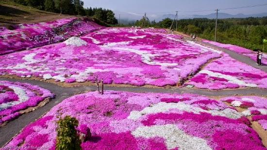 hoa chi anh được trồng khắp nơi