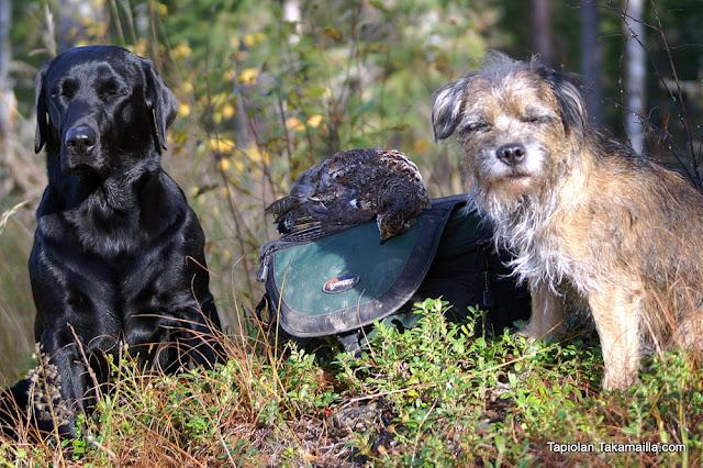 labradorinnoutaja metsäkanalintujahti borderterrieri