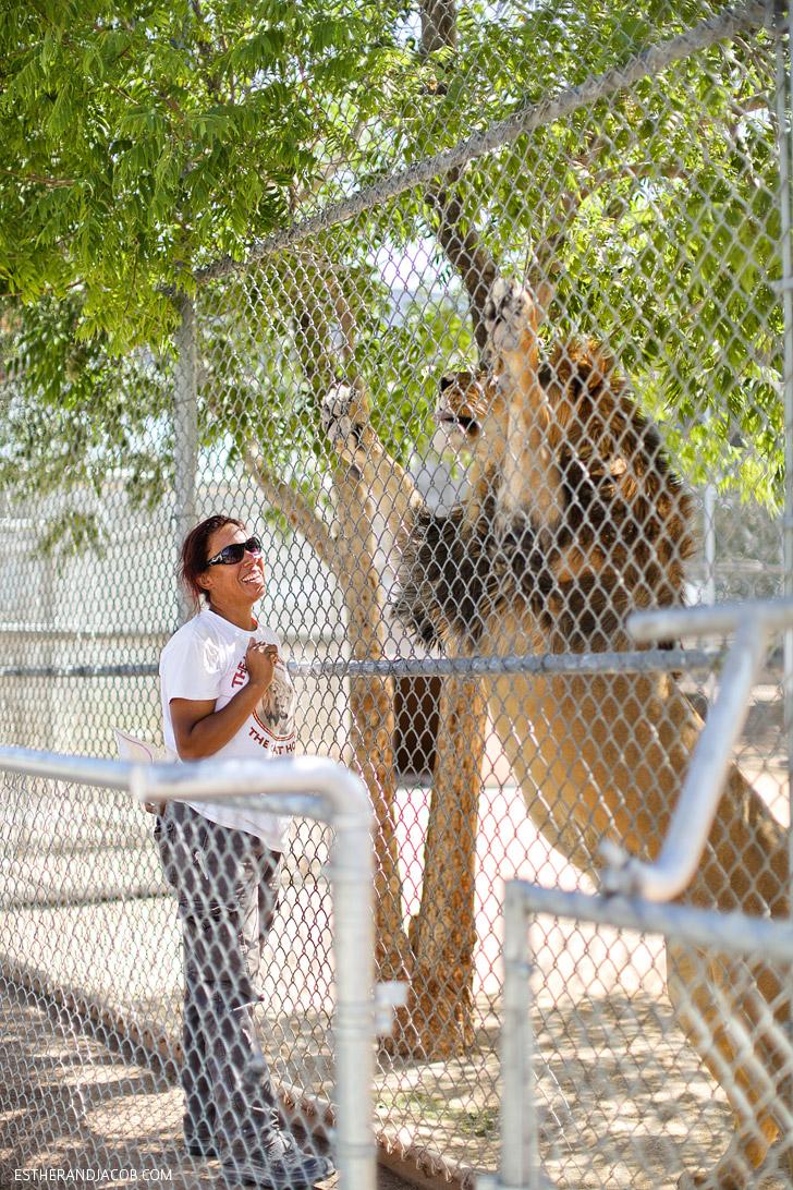 MGM Lion Descendents at the Lion Habitat Las Vegas.