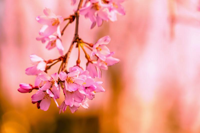増上寺 桜 写真 16