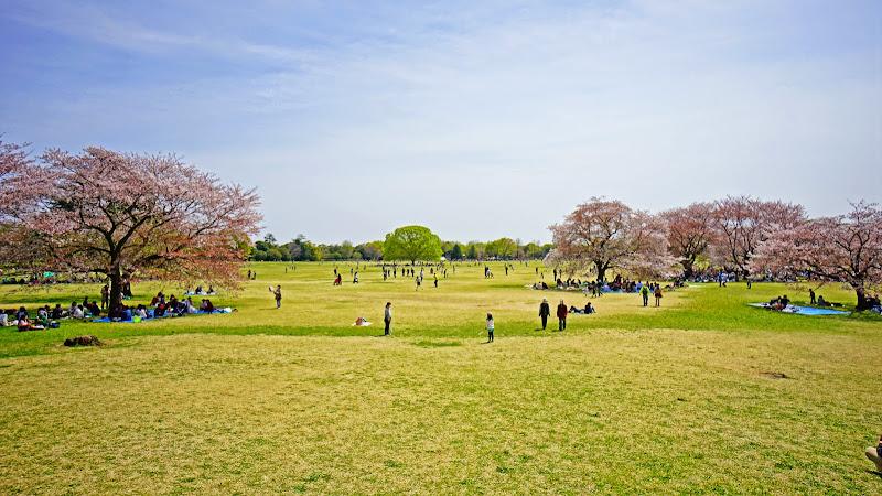 昭和記念公園 桜 写真3
