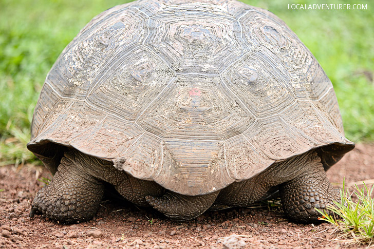 The Galapagos Tortoise Facts.
