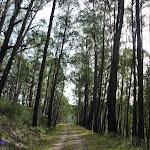 Tall forest on Dargals Trail (290255)
