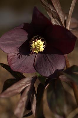 Helleborus orientalis 'Blue Metallic Lady'