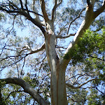 Towering gums on the Banks-Solander Trail (18429)
