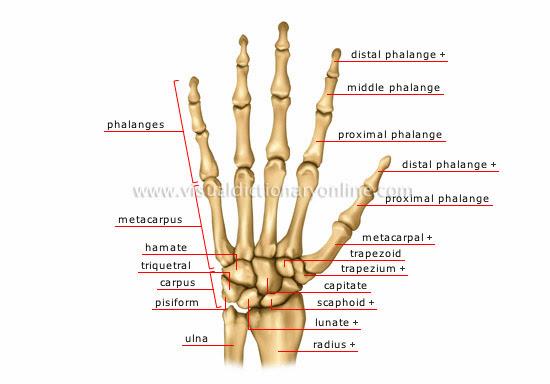 Left side body anatomy
