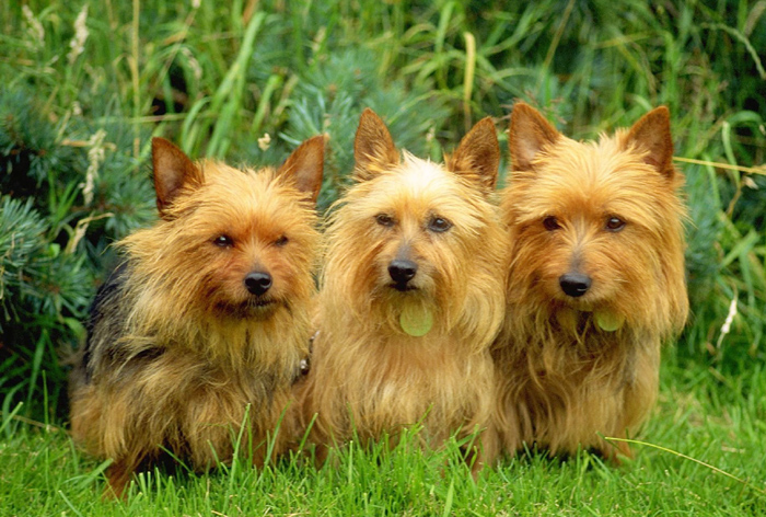 australian terrier and australian terrier puppies vermin hunter and watch dog