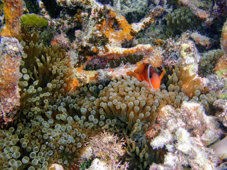 Amphiprion barberi (Fiji Tomato Clownfish) with Entacmaea quadricolor (Bubble Anemone) , Naigani Island, Fiji