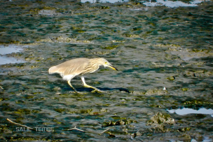 Indian Pond Heron in Sewri Mudflats