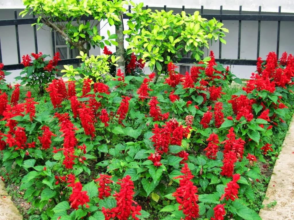 Hoa xác pháo đỏ đẹp