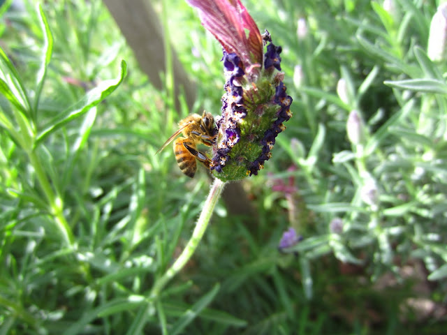 a bee resting on a lavender flower