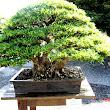 13 Ficus microcarpa.JPG