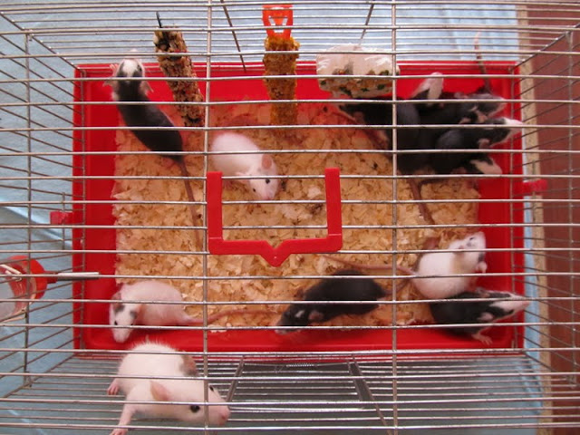 Our Rattus norvegicus - updated with 13 kittens IMG_0153